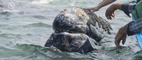 Encuentro amistoso durante el avistamiento de ballenas en Baja California Sur