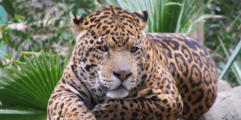 Detiene Profepa a presuntos cazadores de jaguar y comercializadores de aves