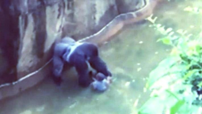 Indigna asesinato de gorila por salvar a niño en Cincinnati