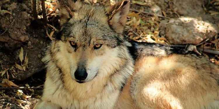 Capturan a lobo que deambulaba por calles de Cuernavaca 1