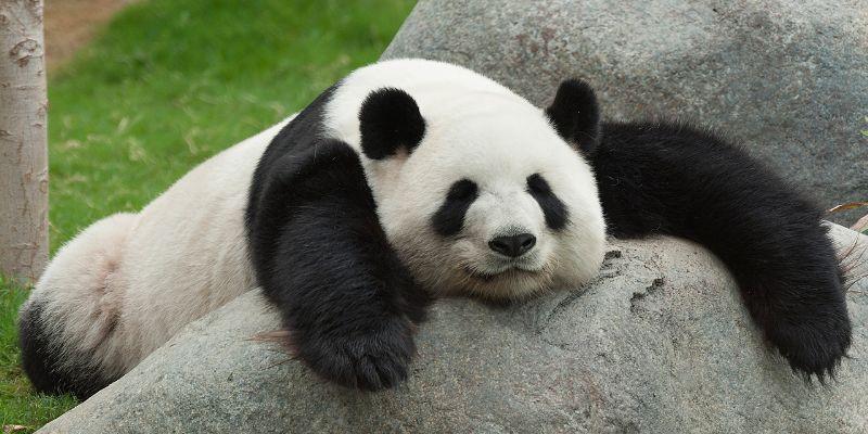 ¡Buena noticia! El panda ya no está en peligro de extinción