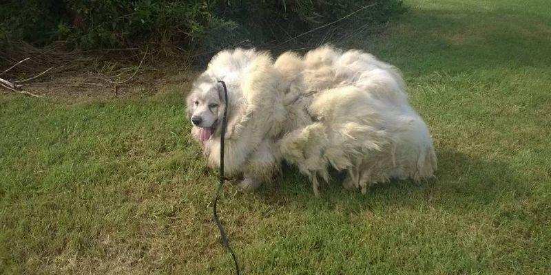 Rescatan a perro atrapado en 15 kilos de su pelaje