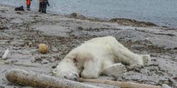 Matan a oso polar en represalia por ataque a guía turístico 9