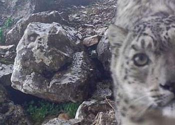 """Raro leopardo de las nieves """"posa para selfies"""" en montañas de China 1"""