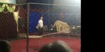 Niña fue atacada gravemente por leona de circo en Rusia (video) 7