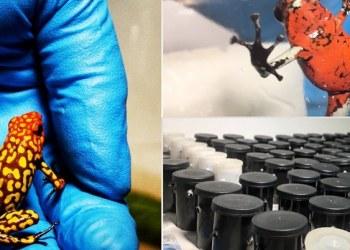 Decomisan en Bogotá 216 ranas venenosas que serían enviadas a Alemania 1