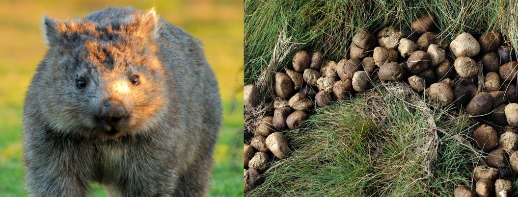 Científicos descubren por qué heces del wombat tiene forma de cubo