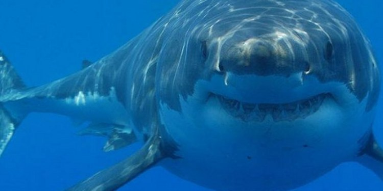 Isla Guadalupe, refugio clave para conservar al tiburón blanco 2