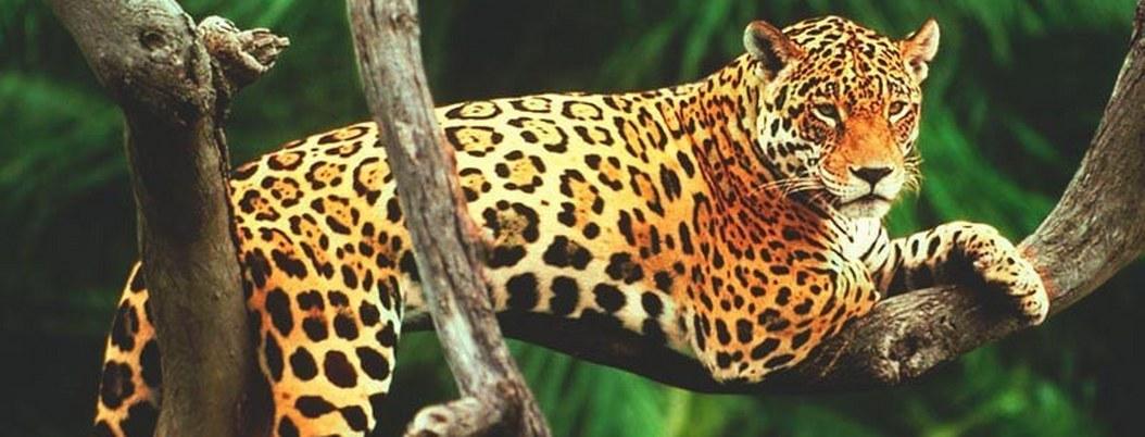 Población de más de 2 mil jaguares, en peligro por Tren Maya