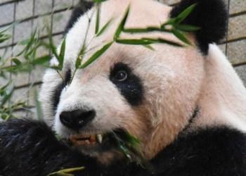 Tutan Tuan, primer panda del mundo en recibir un aparato de ortodoncia 1