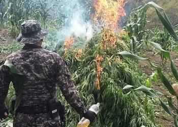 PGR destruyó 245 mil plantas de marihuana en Jalisco 3