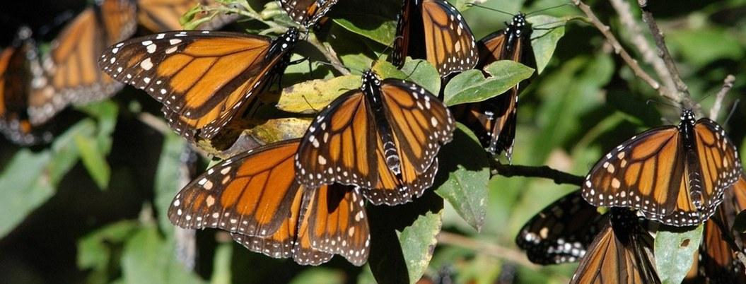 Colonia de mariposas monarca ahora llega al Nevado del Toluca