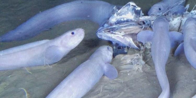 """Descubren 3 nuevas especies de """"peces babosos""""; viven en fondo del mar 1"""