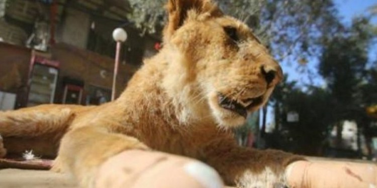 leona amputada