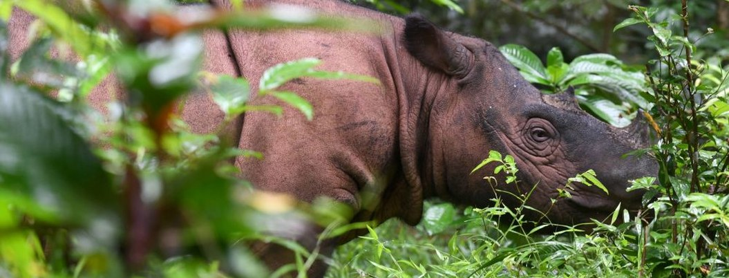 Muere el último rinoceronte macho de Sumatra