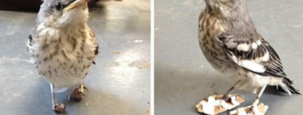 Zapatitos ortopédicos ayudan a ave discapacitada a volver a caminar