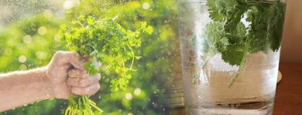 Cilantro, hierba que elimina metales pesados del cuerpo