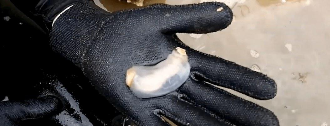 Encuentran nueva especie de molusco que se alimenta de rocas