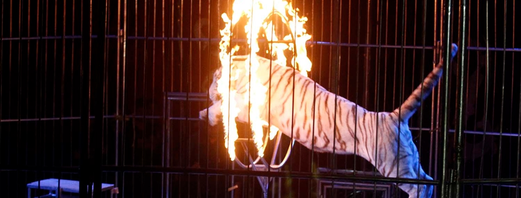 Animales en circo, vuelve la discusión de esta ley en México