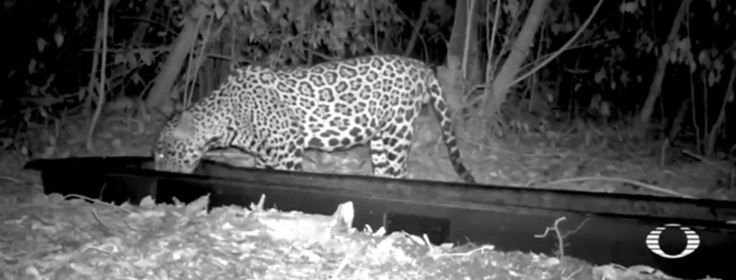 Colocan bebederos para animales por sequía en Reserva de Calakmul