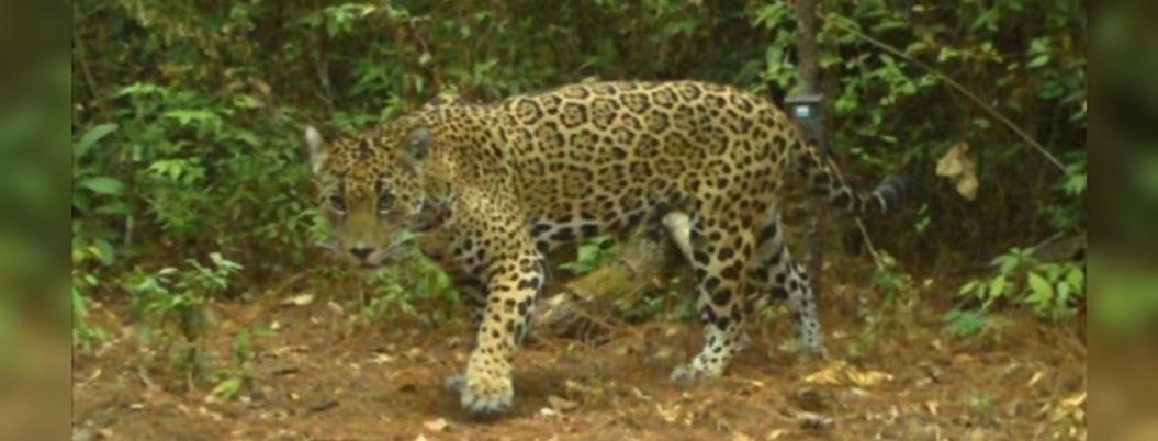 Proyecto para conservar el jaguar, finalista de concurso de Volkswagen