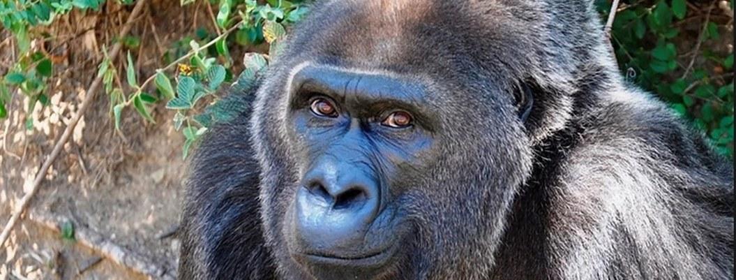 Fallece Trudy, la gorila más vieja criada en cautiverio; tenía 63 años