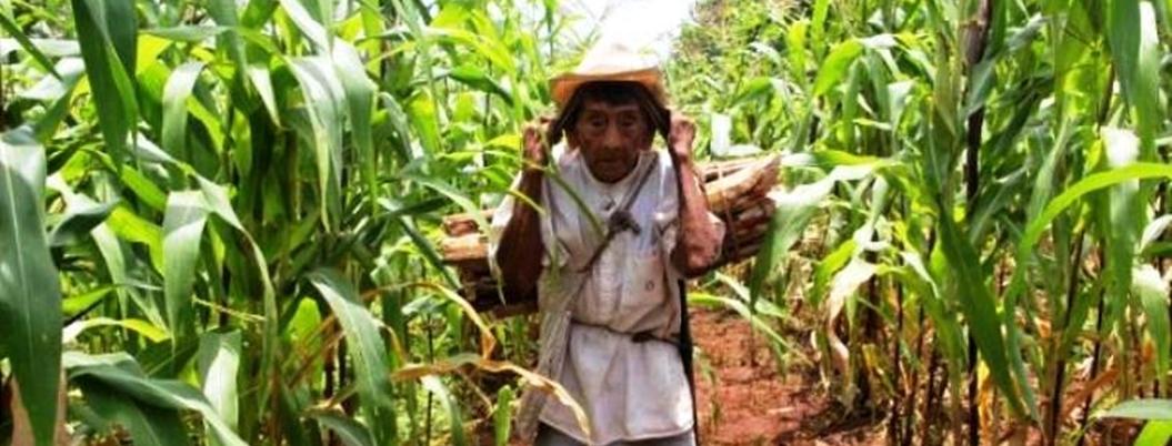 Conocimiento sobre siembra de milpa se extingue, alertan en Yucatán