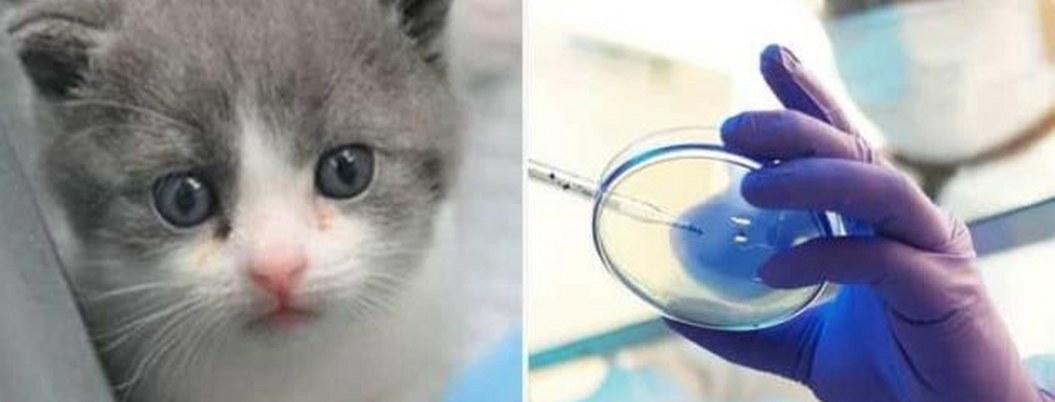 """Nace en China """"Garlic"""", el primer gatito clonado"""