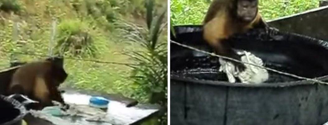 Mono inteligente imita a humanos; lo descubren lavando ropa  VIDEO