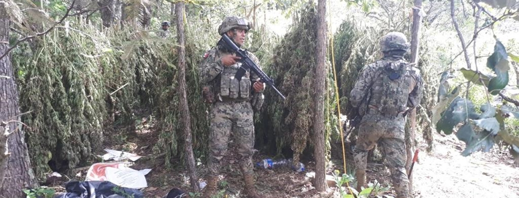 Fuerzas armadas destruyen sembradíos de amapola en Leonardo Bravo