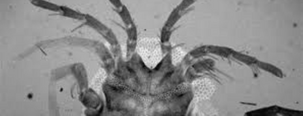 Descubren nueva especie de ácaro acuático en el buche de un pato
