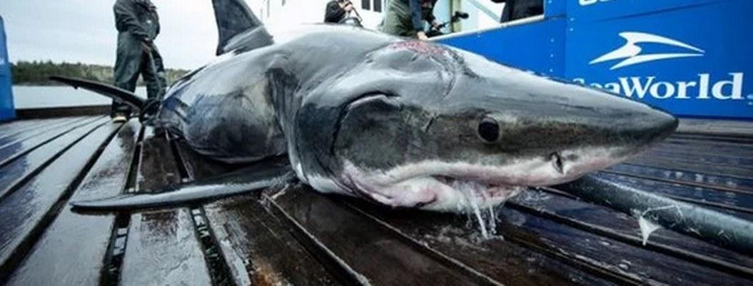 Hallan tiburón blanco con la cabeza mordida por otro animal más grande