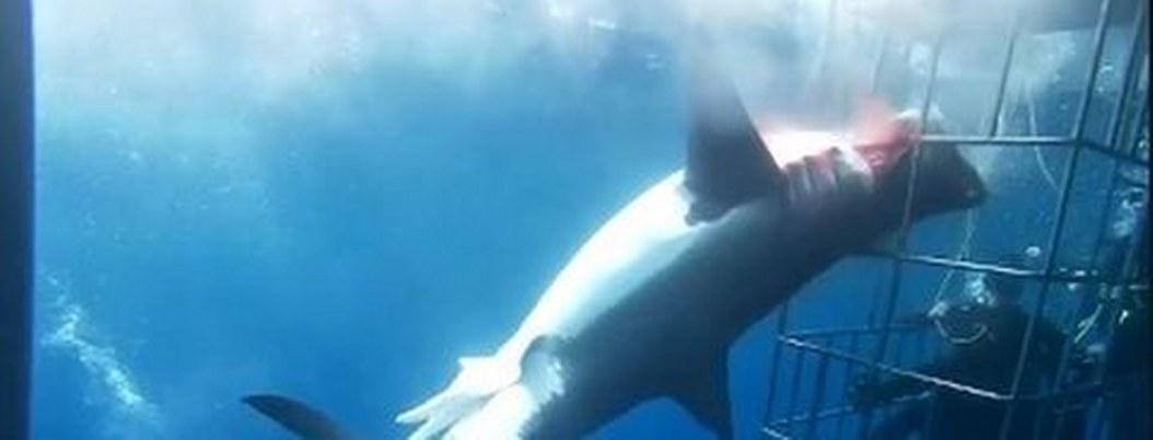 Tiburón blanco murió desangrado en jaula de turistas| VIDEO