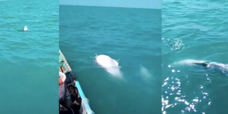 Pescadores se topan con grupo de delfines albinos   VIDEO 1