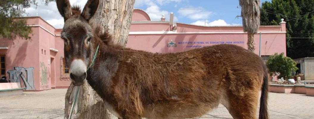 Burro mexicano, una especie en peligro de extinción