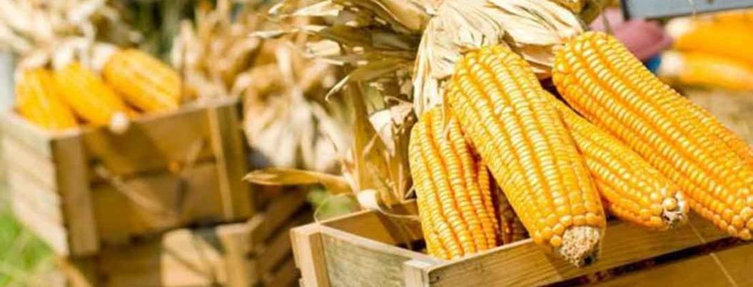 México importará 18 millones de toneladas de maíz