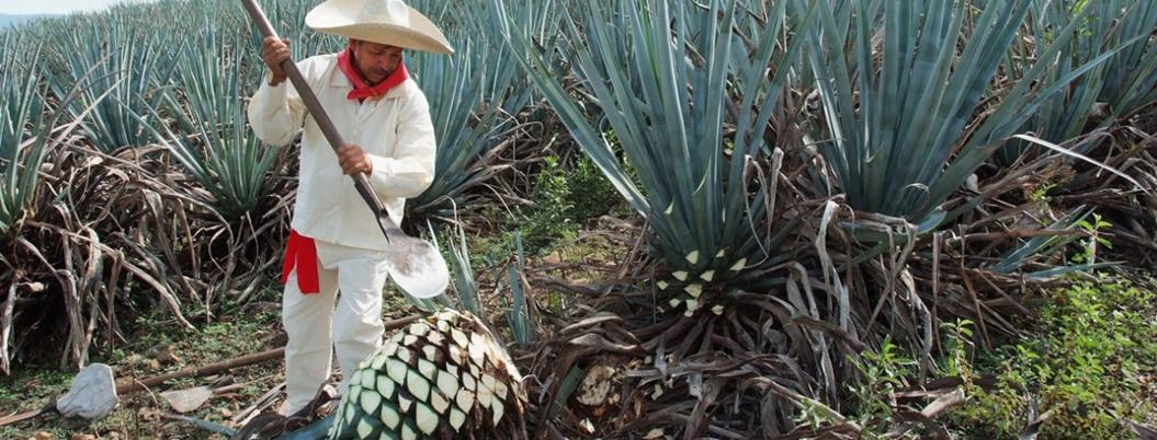 Producción de tequila aumentará 5% durante 2020