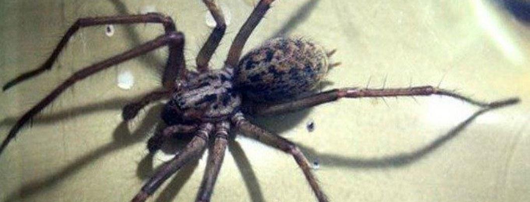 Calor en Australia desencadenará broten arañas mortales, advierten