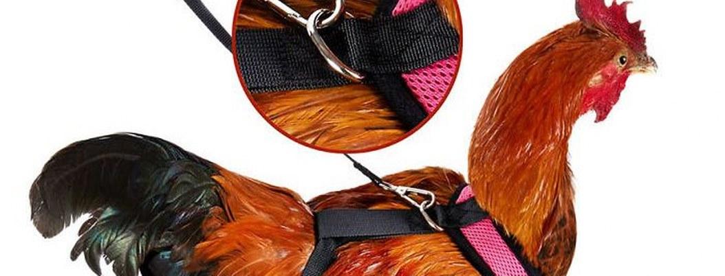 Ya puedes pasear a tu gallina con está correa de venta en Amazon