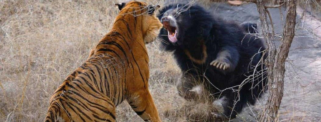 VIDEO| Oso se enfrenta a 2 tigres en un parque de la India