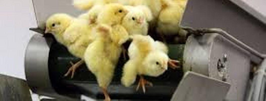 Francia prohibirá triturar pollitos vivos, práctica común en la UE