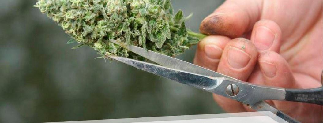 Decomisan más de una tonelada de marihuana en Sinaloa