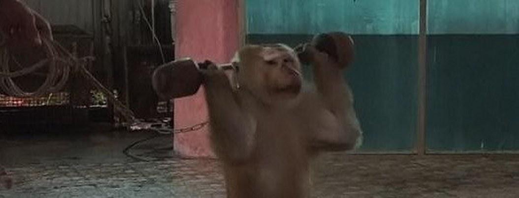 Mono es obligado a levantar pesas en show para turistas | VIDEO