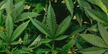 Advierten aumento en casos de esquizofrenia relacionados con la cannabis 4