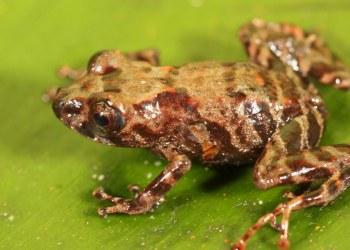 Descubren dos nuevas especies de ranas en reserva natural de Perú 6