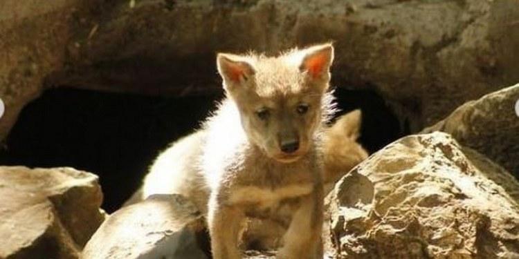 Nace camada de lobos en México y da esperanza de evitar extinción 1