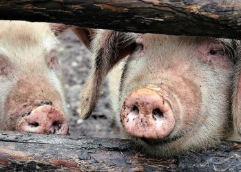 México y Centroamérica en alerta por brote de peste porcina africana 5