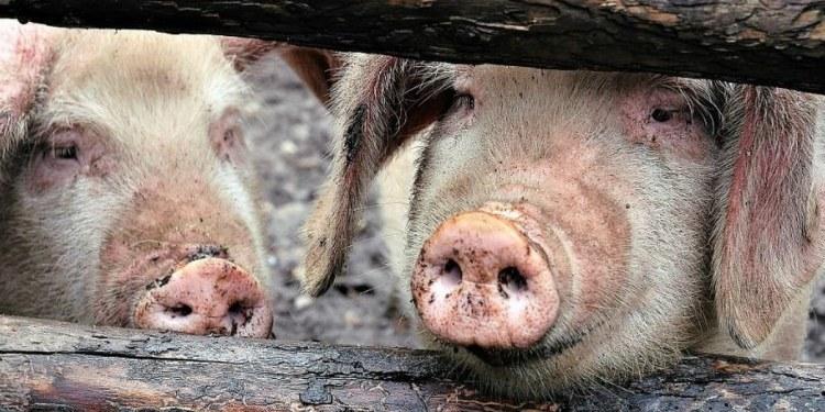 México y Centroamérica en alerta por brote de peste porcina africana 1