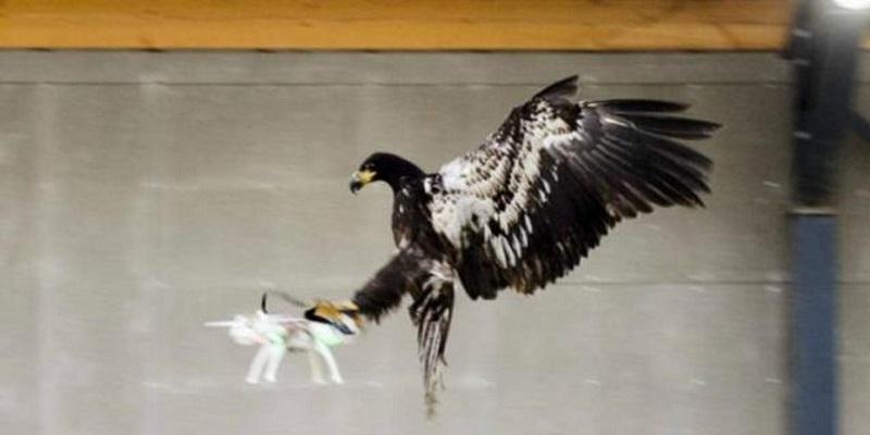 Águilas para acabar con el descontrolado uso de drones