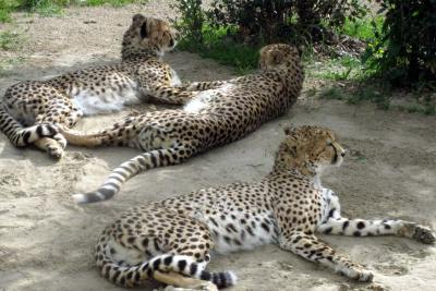 The cheetah family relaxing in the shade